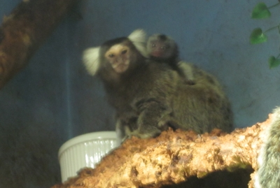Mommy Marmoset with Baby on Back
